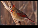 Northern-Cardinal f 34