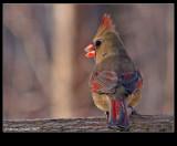 Northern-Cardinal f 35