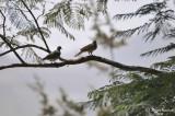 Aug-08_Doves in Abha.jpg