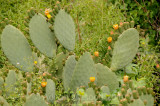 Cactus_flowers.jpg