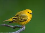 Paruline jaune/Yellow Warbler