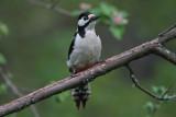 Grote Bonte Specht/Great Spotted Woodpecker