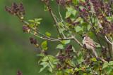 Ringmus/Tree Sparrow
