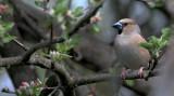 Appelvink/Hawfinch