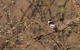 Withalsvliegenvanger/Collared Flycatcher