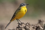 Gele Kwikstaart/Yellow Wagtail