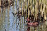 WitoogeendFerruginous Duck