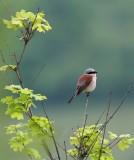 Grauwe Klauwier/Red-backed Shrike