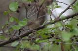 Krekelzanger/River Warbler