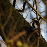 Syrische Bonte Specht/Syrian Woodpecker