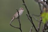 Sperwergrasmus/Barred Warbler