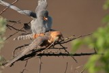 Roodpootvalk/Red-footed Falcon