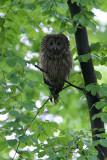Oeraluil/Ural Owl