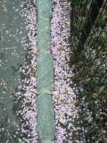 Petals in Central Park