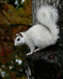 WHITE SQUIRREL - ISO 400