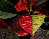 MULTI-COLORED POINSETTIAS AT THE VAN WINGERDEN OPEN HOUSE (16)