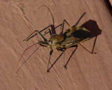 A STRANGE VISITOR - AN ASSASSIN BUG (a.k.a. WHEEL BUG)