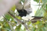 Willy Wagtail ~ Rhipidura leucophrys~passerine