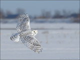 Harfang des neiges (Snow Owl)