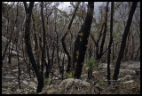 After the fire, slopes of Mt McAlister 1