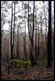 After the fire, Sealers Cove walking track 1