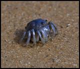 Little blue crab