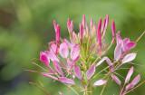 Spider Flower (Cleome hassleriana)