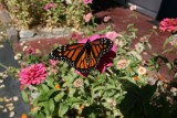 Thanks to the zinnia'a for bringing him in for some nectar !!!