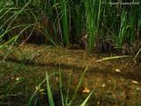 colony Utricularia australis