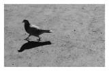 Pigeon, Kamakura