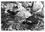 Crow in garbage