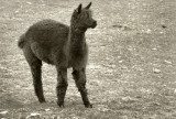 Long Valley Alpaca