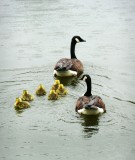 Make Way For Goslings 2