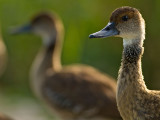 Whistling West Indian Whistling-Duck (Dendrocygna arborea) 4