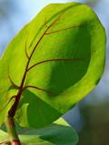 Sea Grape Leaf