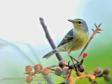 Thick-Billed Vireo? (Vireo crassirostris) 2 or Female Yellow Warbler?