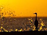 Little Blue Heron Sunset 1
