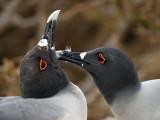 Swallow-tailed Gulls (Creagrus furcatus) 2