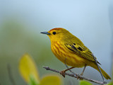 Male American Yellow Warbler (Dendroica petechia)