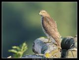Sparrow Hawk, Lund