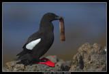 Black Guillemot, Iceland