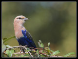 blue_bellied_roller.jpg