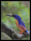 Azure Kingfisher, Royal National Park