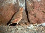 Crimson-winged Finch - Rhodopechys sanguinea aliena
