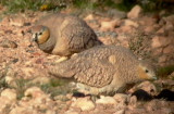 Crowned Sandgrouse - Pterocles coronatus - Ganga coronada - Ganga couronné