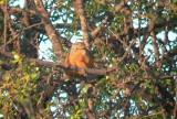 Female Moussier's Redstart - Phoenicurus moussieri - Colirojo diademado - Rougequeue de Mossier - Cotxa diademada