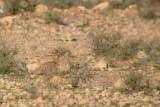 Crowned Sandgrouse - Pterocles coronatus - Ganga coronada - Ganga couronné