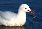Adult Slender-billed Gull - Larus genei - Gaviota Picofina adulta - Gavina Capblanca adulta
