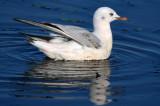 Slender-billed Gull 1st winter - Larus genei - Gaviota Picofina 1er invierno - Gavina Capblanca primer hivern