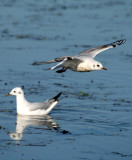 Black-headed Gull - Larus ridibundus - Gaviota reidora - Gavina riallera